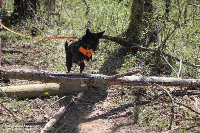 Ralph Jumping During a Dog Friendly Hiking at Blue Ridge Center for Environmental Stewardship