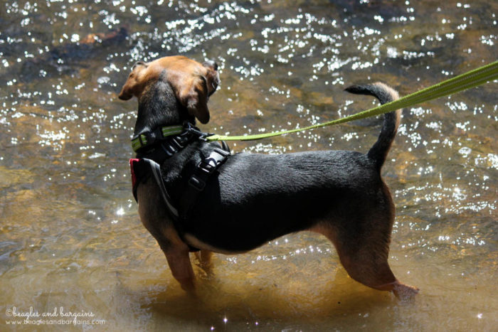Luna enjoys the cool water of Piney Run while hiking at the Blue Ridge Center for Environmental Stewardship