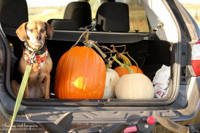 Luna's pumpkin haul from Rock Creek Farm.