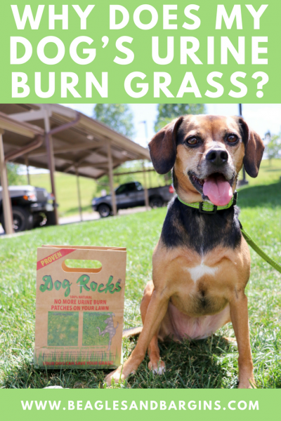 Why Does My Dog's Urine Burn Grass? {And How Dog Rocks Can Help!}