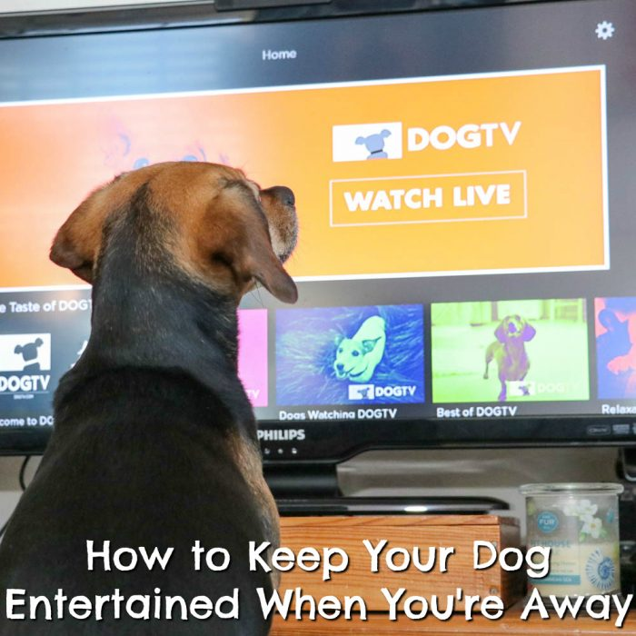 How to Keep Your Dog Entertained While You're Away | Stocking Stuffer Giveaways | Win a DOGTV Holiday Box and 6-Month Subscription | #sponsored by DOGTV